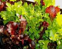 Lettuce_-_salad_mix_3